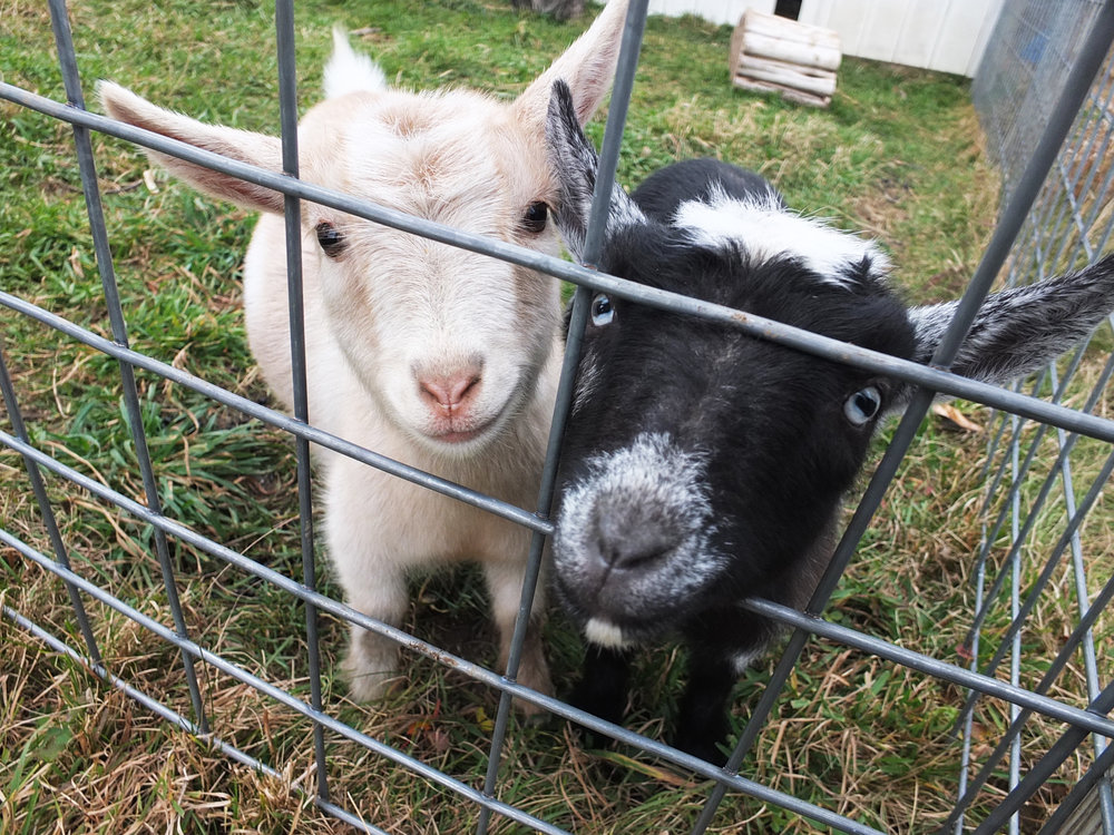 Baby goats at the farm!
