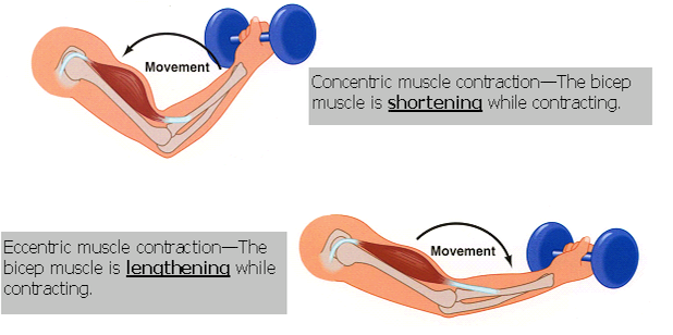 Baseball-concentric-and-eccentric strengthening.png