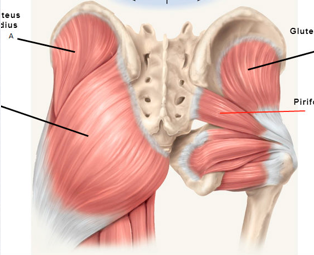 Gluteus Maximus and the small hip external external rotators