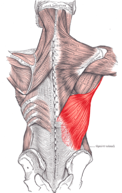 Highlighted: Latissimus Dorsi