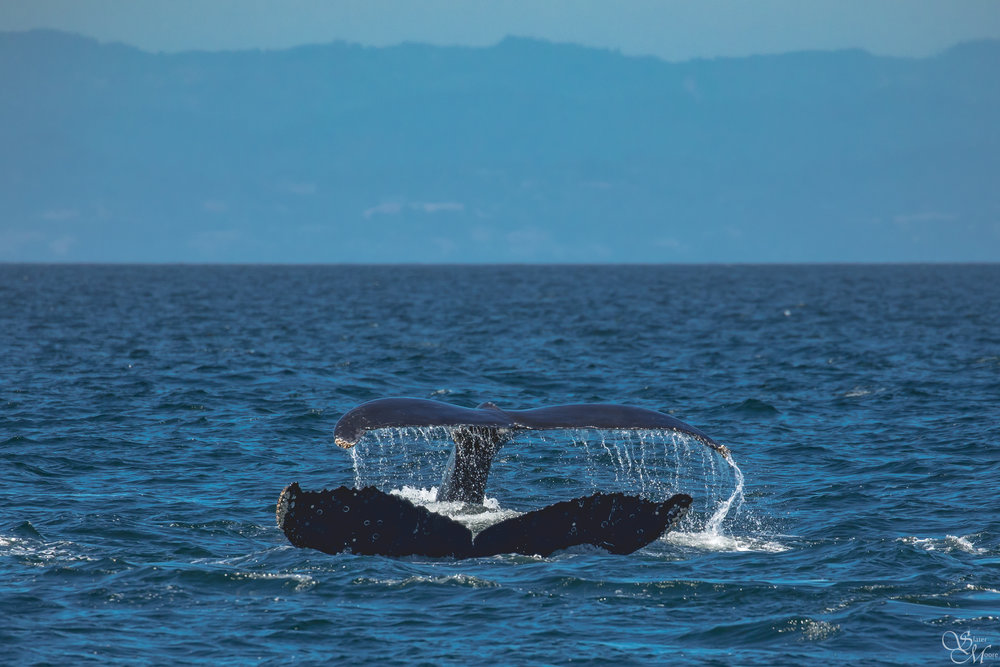 Two Humpback Whales Fluking!