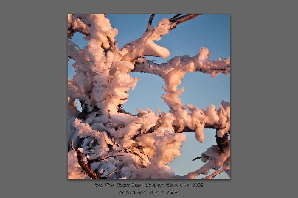 Iced Pine, Bogus Basin, Southern Idaho, USA, 2009