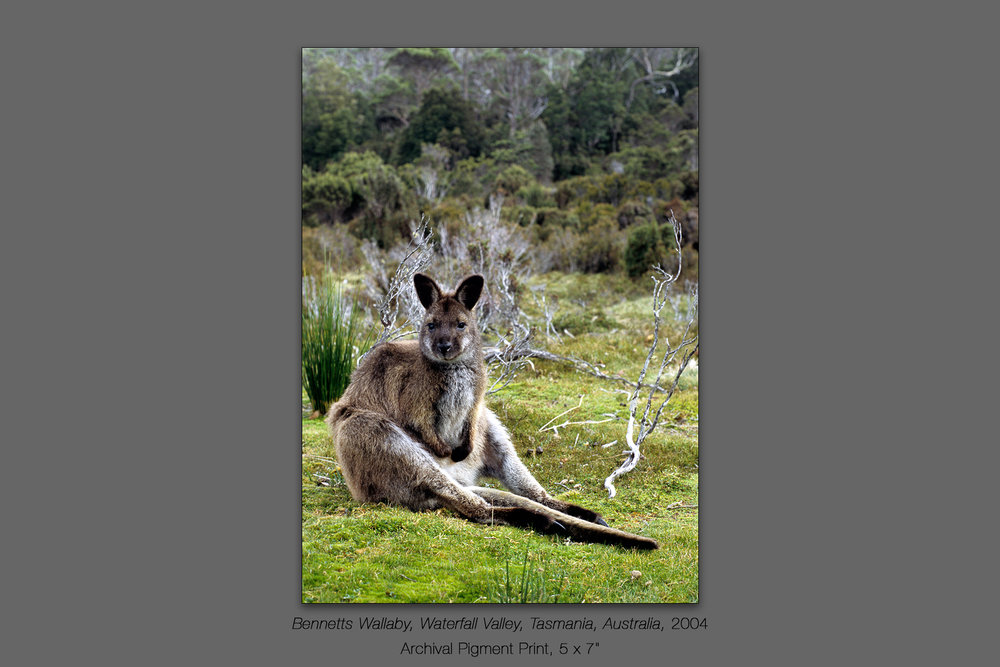 Bennetts Wallaby, Waterfall Valley, Cradle Mountain - Lake St. C