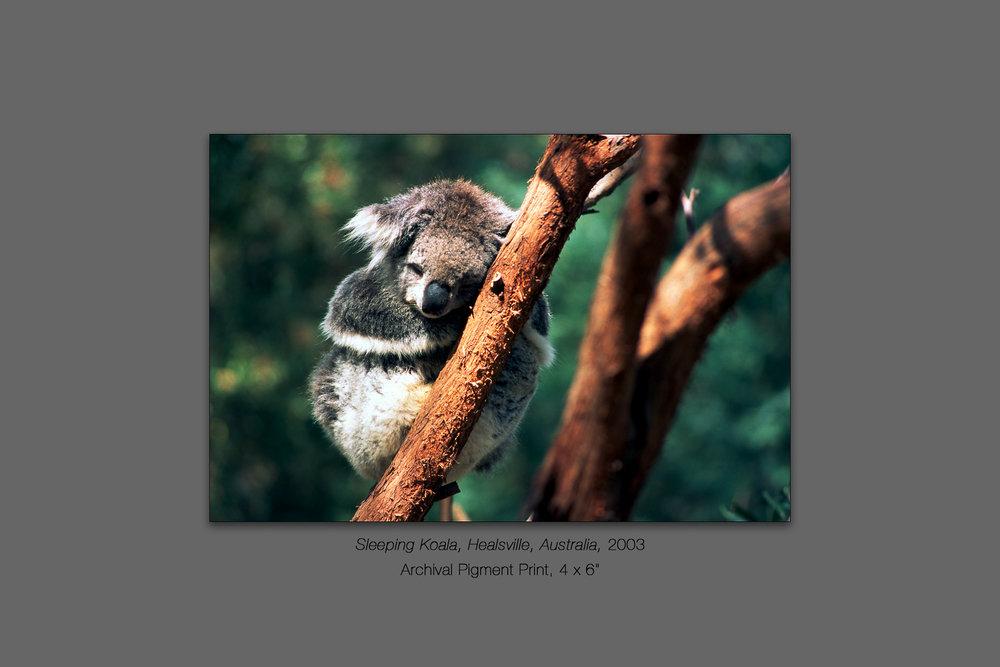 Sleeping Koala, Healsville, Victoria, Australia, 2003