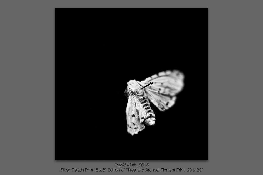 Erebid Moth, 2015
