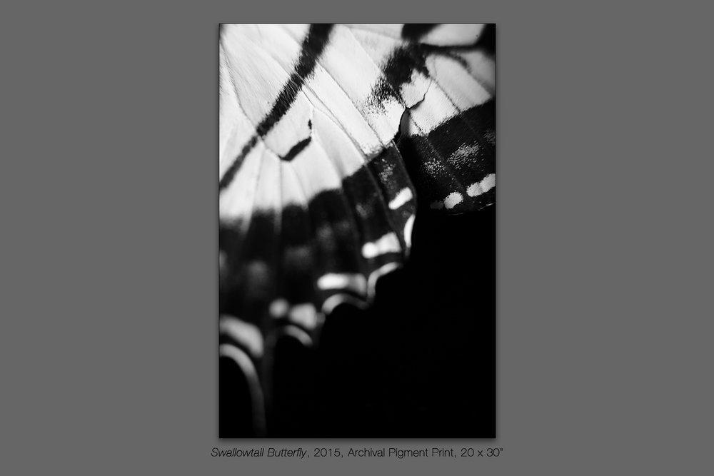 Swallowtail Butterfly, 2015