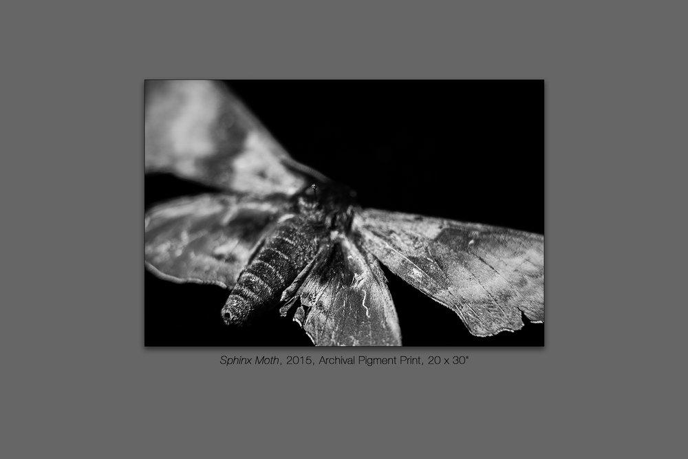 Sphinx Moth, 2015