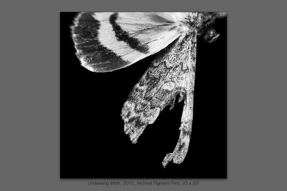 Underwing Moth, 2015