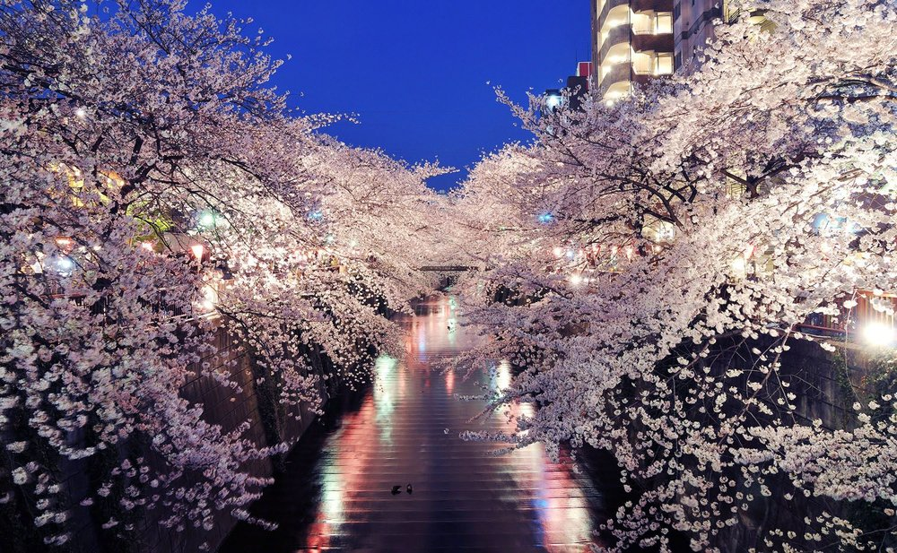 Pink-Blossoms-Tokyo