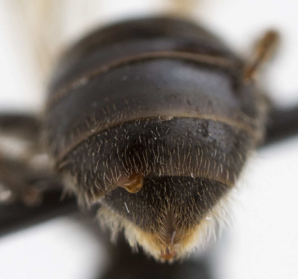 Image of the Strepsiptera's abdomen sticking out of a host abdomen | Image By  maxson.erin  \  CC BY 2.0