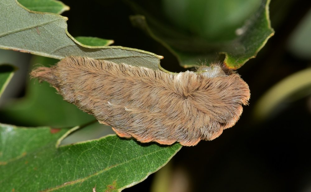 Southern Flannel Moth in its Caterpillar Form
