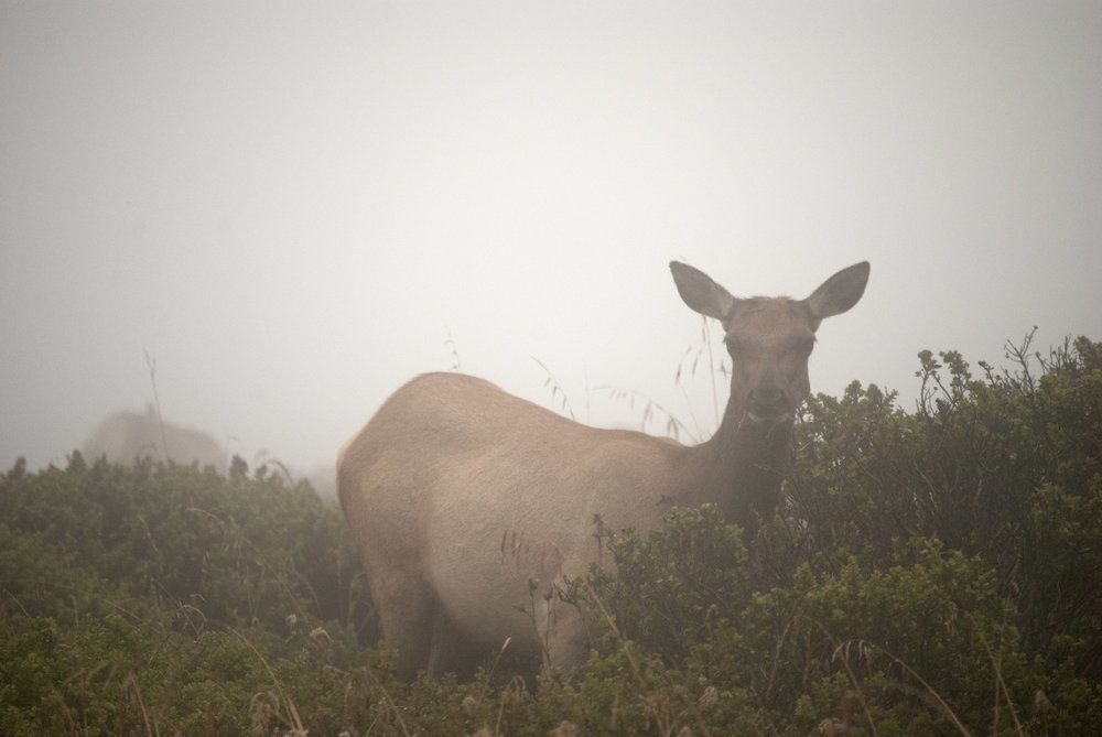 Tule Elk / Photo by Chuck