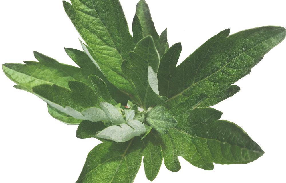 Artemesia douglasiana (California Mugwort)