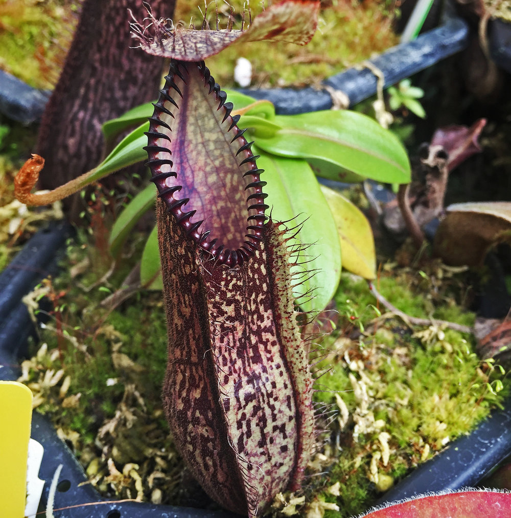 Nepenthes: a true life carnivore! Black teeth at the rim of a pitcher plant.