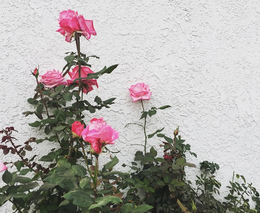 Photo of my grandma's roses. Admire their beauty, but do not eat roses that have been treated with pesticides!