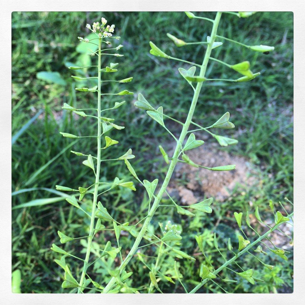 Capsella bursa-pastoris (Shepherd's Purse) with heart-shaped seed pods growing in a field in Long Beach