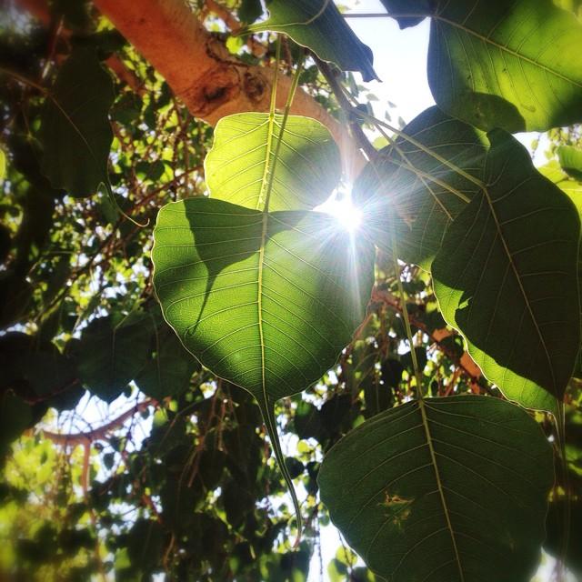 Ficus religiosa   (Bodhi Tree) with cordate leaves at the Fullerton Arboretum
