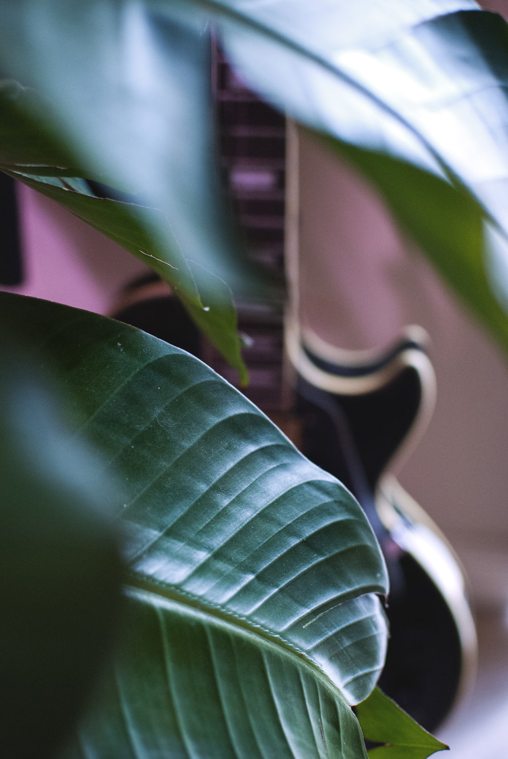 The largest leaves inside our apartment - of a giant bird of paradise.