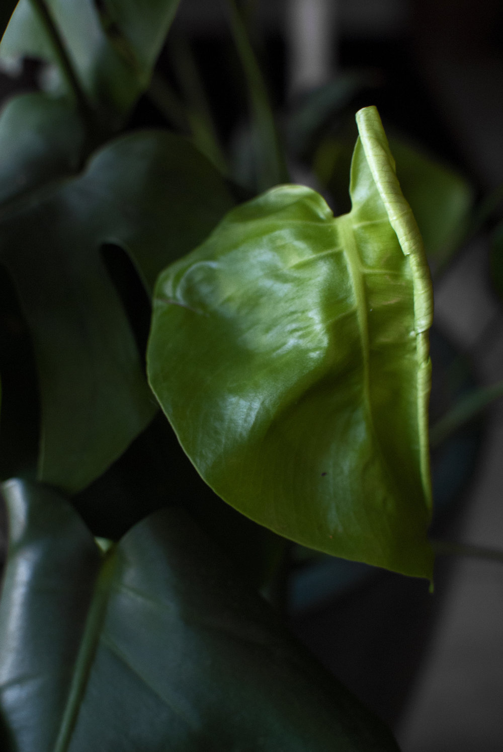 A new leaf unfurling.