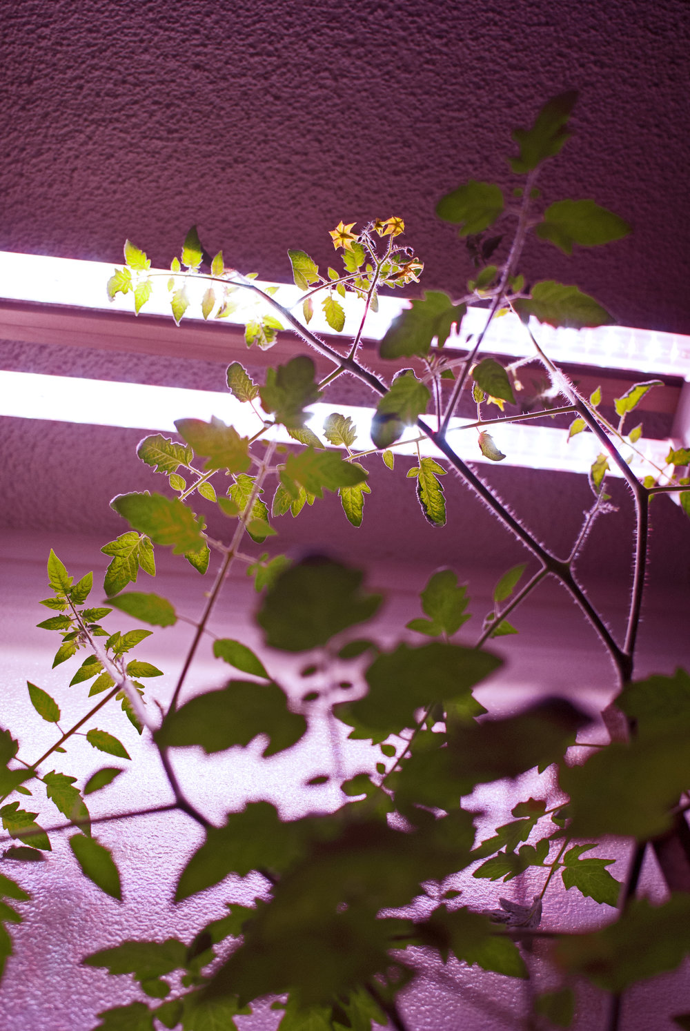 The plants *love* the pink grow lights!  This is a tomato plant that grows taller and taller. Check out those darling yellow flowers!