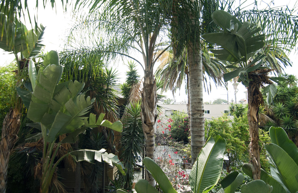 THERE GROW GIANTS / Giant Birds of Paradise + Palm Trees. Front window views.