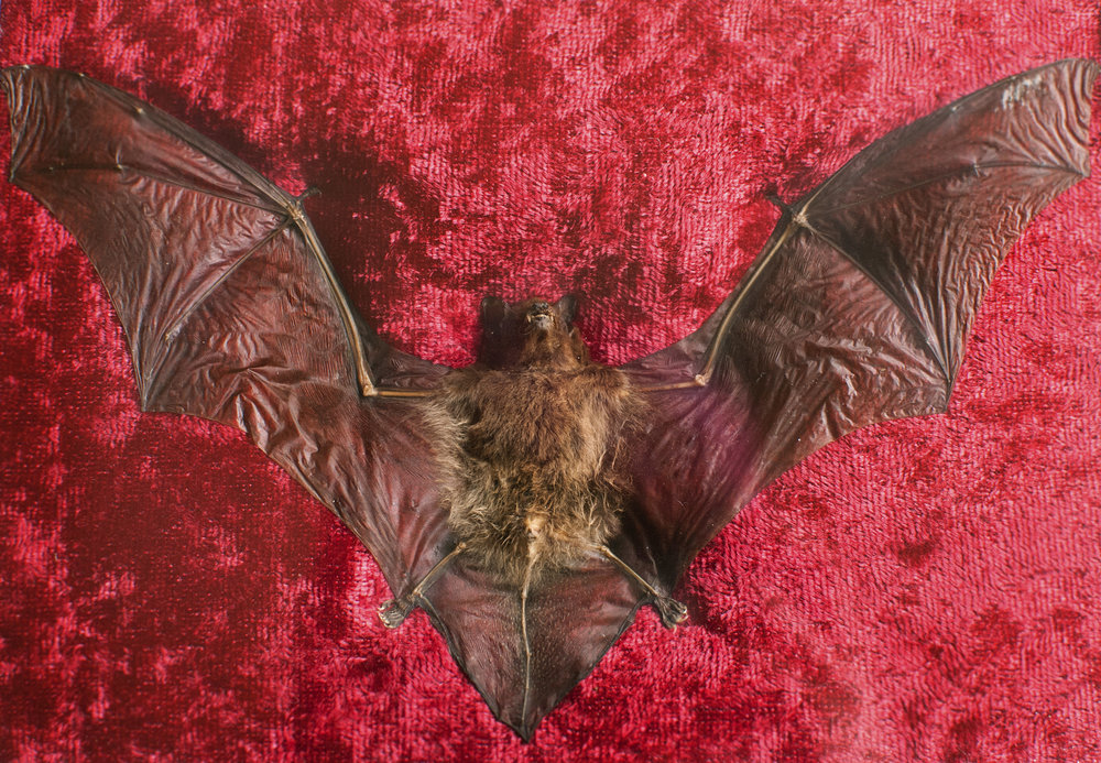 A  taxidermy bat  from a friend. It's super cool to see up-close a bat's thumb and four fingers -- just like ours, but much longer!