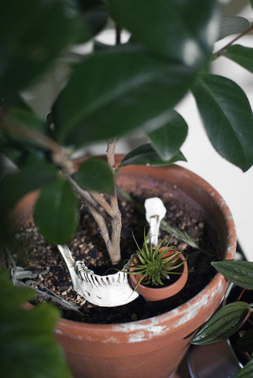 Skeleton parts (jaw bone) in a Camellia garden pot, next to an freaky alien  Tillandsia .
