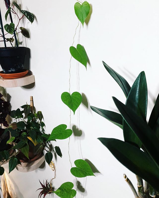 Happy #HouseplantAppreciationDay !!💚🌿💚✨ We entered 2019 with ONE HUNDRED TWENTY TWO plants! I love being surrounded with such beauty and vitality. Houseplants truly, truly inspire me. • Tonight, I had to capture some photos of the main plant wall, located next to the kitchen. I'm quite proud of how green this section is (and the entire apartment, really) despite not having any natural sunlight.🌿🌿🌿 It took a lot of strategizing to make this work. Greening our bat cave of an apartment was a challenging project... and within the next week, it will most likely all be taken apart!!!! 😁 IF it will be, we are moving on to even greener spaces✨ • The Morning Glory in the first pic has almost reached the ceiling! I grew this from seed (scroll down my page and find the gnome, if you're curious). There's a scraggly vine section from mite damage AND my own clumsiness (I dropped a pot on it 😳), but all the new growth is healthy. It's climbing up a string that I tied from the trellis to the top of the wall. 💚 Where we're going, there's a higher chance of flowers.💚 • #houseplanthome #houseplantlove #houseplantgang #houseplantsmakemehappy #jungalowhome #mybotanicalbungalow #myplantaesthetic #plantstagram #houseplantjournal #house_plant_community #flauntyourleaves