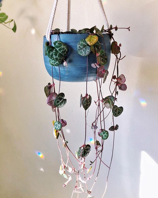 💕String of Hearts💕 I painted this hanging pot specifically for this plant. #WhatsHanginWednesday #Ceropegiawoodii #StringofHearts • I know I shared this on my Story but it was too pretty, I had to post it here too. • #houseplantlove #foliage #flauntyourleaves #mybotanicalbungalow #plantstyling #botanicalpickmeup #createcultivate #houseplants #trailingplants #houseplantsmakemehappy #interiorrewilding #thewildunknown #houseplantclub #makeyourownmagic