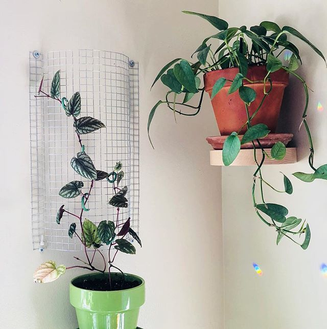 🌿Here are photos from two weeks ago. This Cissus discolor kept trying to climb up my other plants' stakes, even though it had one. I figured it just didn't like the one we gave it, so we turned this chicken wire into a climbing fence! Too bad my cat chewed off the tendrils while this wall was being put together (I seriously cannot set down any wirey/feathery looking plants without stepping away... he *will* attack!!!) 😆 • It's been two weeks and still no sign of tendril growth, so I gave the vines a little trim to encourage it. I know for sure this plant will grow like crazy once we enter Spring weather, and I'm really looking forward to it! (Cebu Blue pictured here also has a recent change... a moss pole! I'll post pics once it's aerial roots are established!). • I'm trying to give my vining plants what they want: to climb! I'm keeping some as trailers (P. hederaceum), but mostly everyone else has a moss pole or trellis now. If I give them what they want, they'll give me what I want... big leaves! Do you prefer trailing vines, or climbing vines? ❓❓❓❓ • #lbindoorjungle #jungalowstyle  #houseplants #houseplantclub #trailingplants #cissusdiscolor #epipremnumpinnatum #cebublue #ihavethisthingwithplants #mybotanicalbungalow #plantstyling #plantsofinstagram #myplantlovinghome #myplantaesthetic