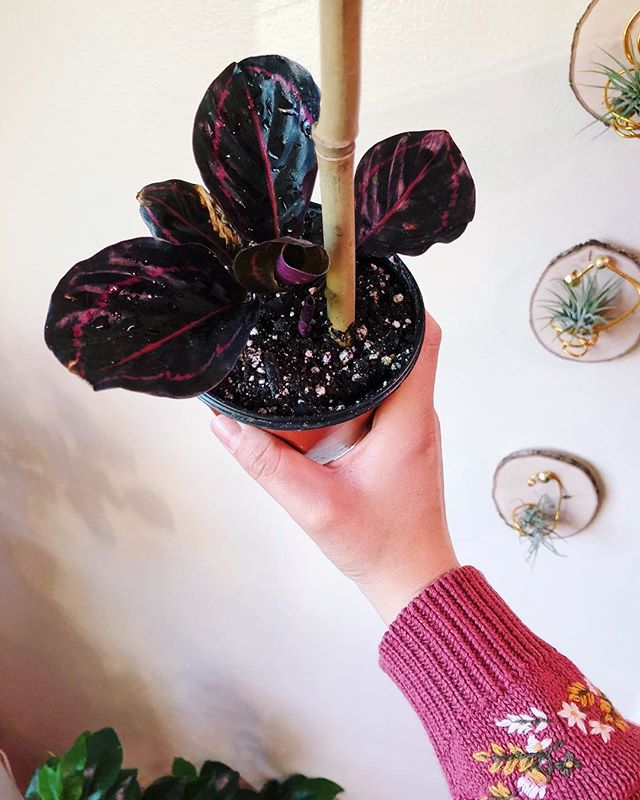 My Calathea 'Dottie' arrived safe and healthy from @the_plant_farm in Spokane 💕 GUYS, I am in love!!! I'm absolutely stoked that this plant is in a small compact size — it's totally adorable, and I get the pleasure to watch it grow in size. 😍 Ever since I figured out how to properly care for my Calathea warscewiczii (I spelled that correctly, first try 😎), I've had Calathea fever. It's now my sixth Calathea child. Let's just hope this Summer is good to us... 🙂 This is some risky SoCal houseplant stuff.... #lbindoorjungle • #Calatheadottie #calatheaclub #calathea #calathearoseopicta #houseplants #houseplantclub #plantbabies #plantparenthood #ihavethisthingwithplants #flauntyourfoliage #botanicalpickmeup #indoorjungle #jungalow #lostinplantopia