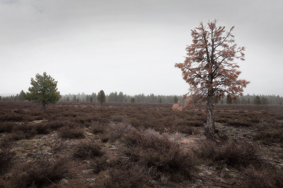 lassen-tree.jpg