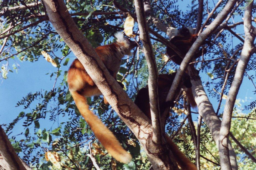 Lemurs Nosy Komba