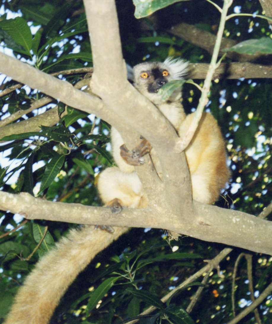 Lemur on Nosy Be
