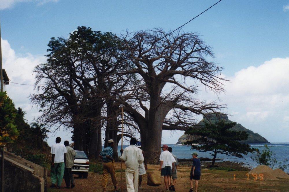 Baobab, proud landmark on Moheli