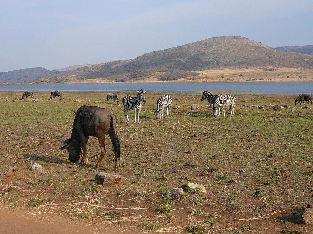 Wildebeest & Zebra - Mankwe dam