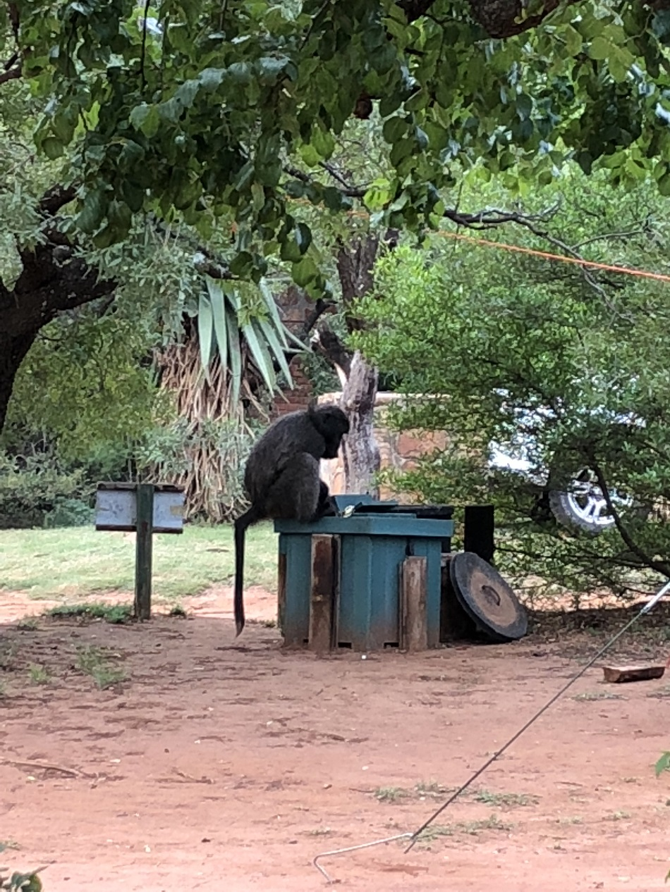 Baboon on the bin.JPG