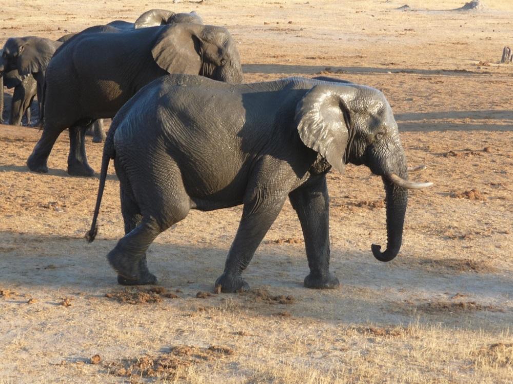 Shiny elephant after bathing