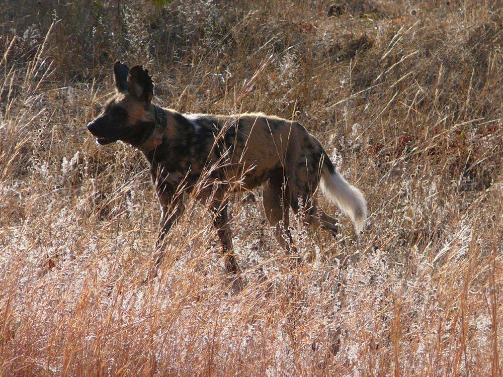 Wild dog or painted dog
