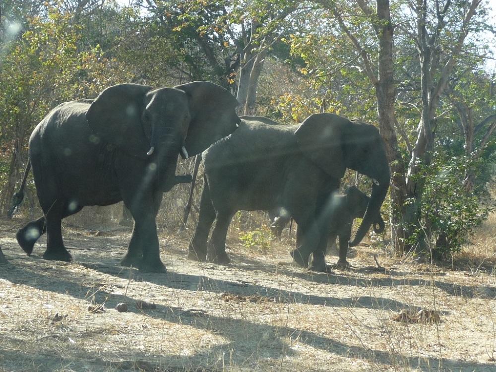 Roaming Fox Hwange elephants 19.JPG