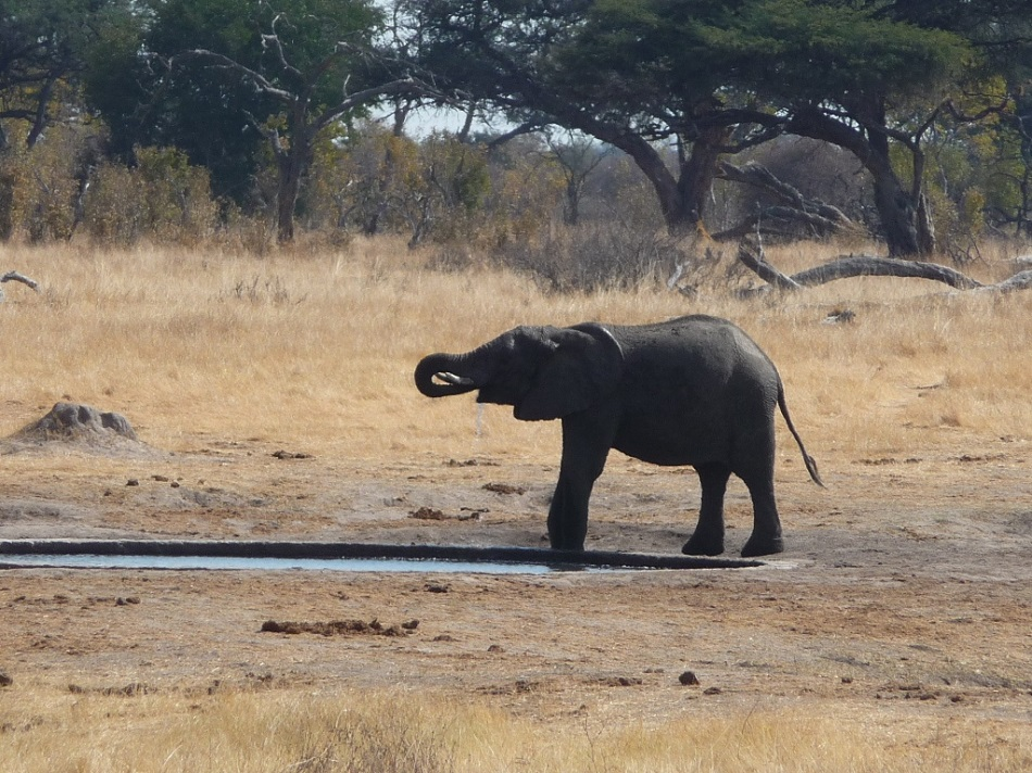 Roaming Fox Hwange elephants 20.JPG