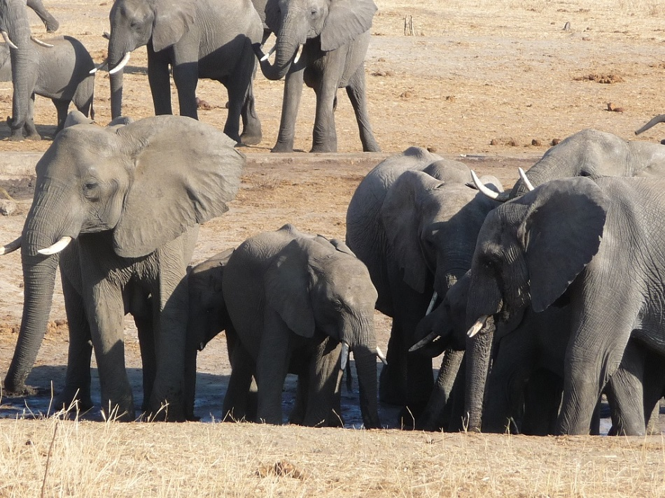 Roaming Fox Hwange elephants 21.JPG