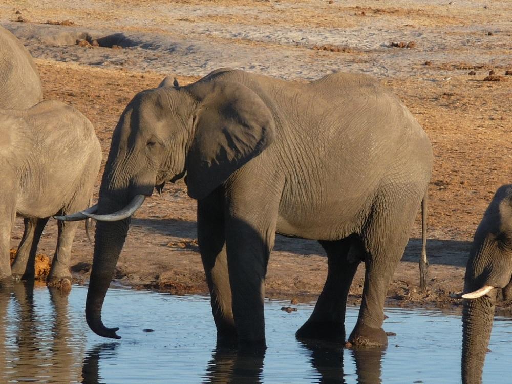 Roaming Fox Hwange elephants 39.JPG