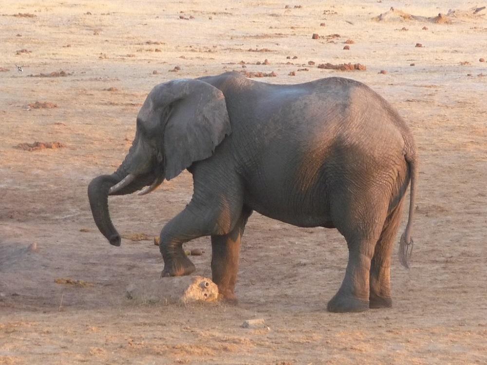 Roaming Fox Hwange elephants 38.JPG