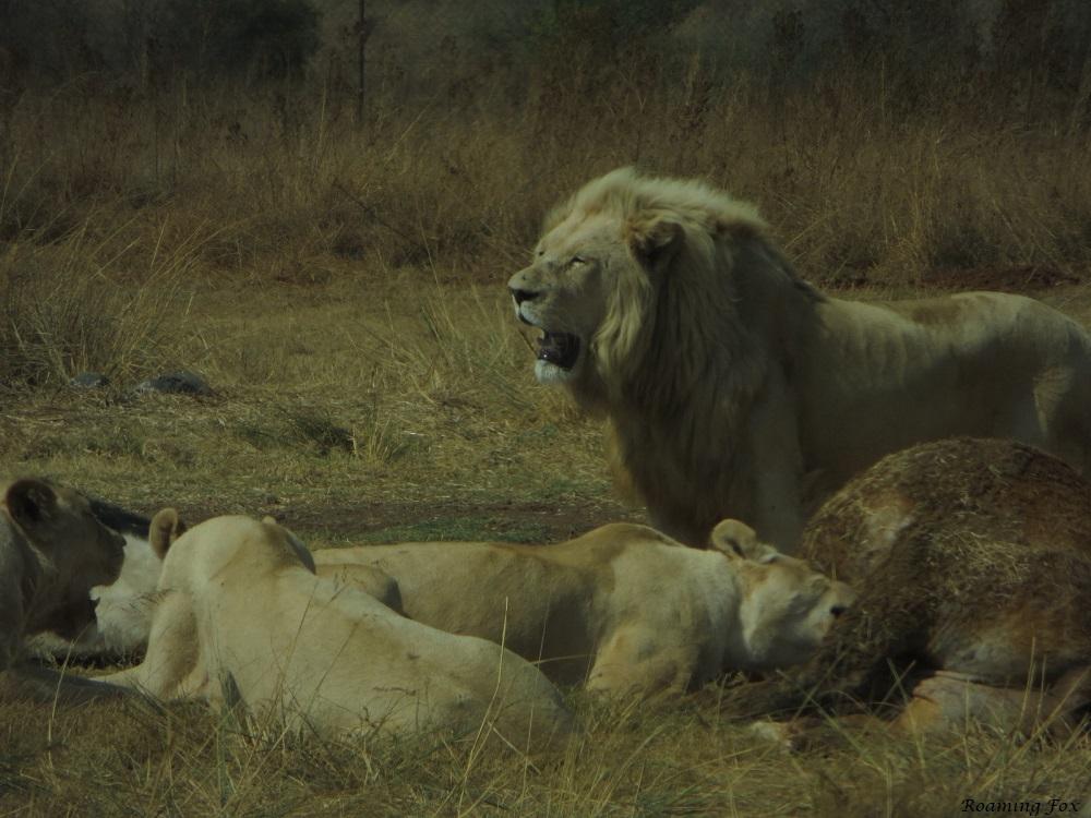 Rhino & lion Park 8.JPG
