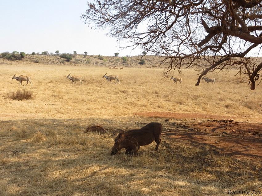 Rhino & lion park.JPG
