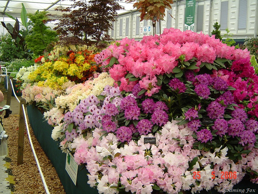 Azalea display Chelsea Flower Show 2006.JPG