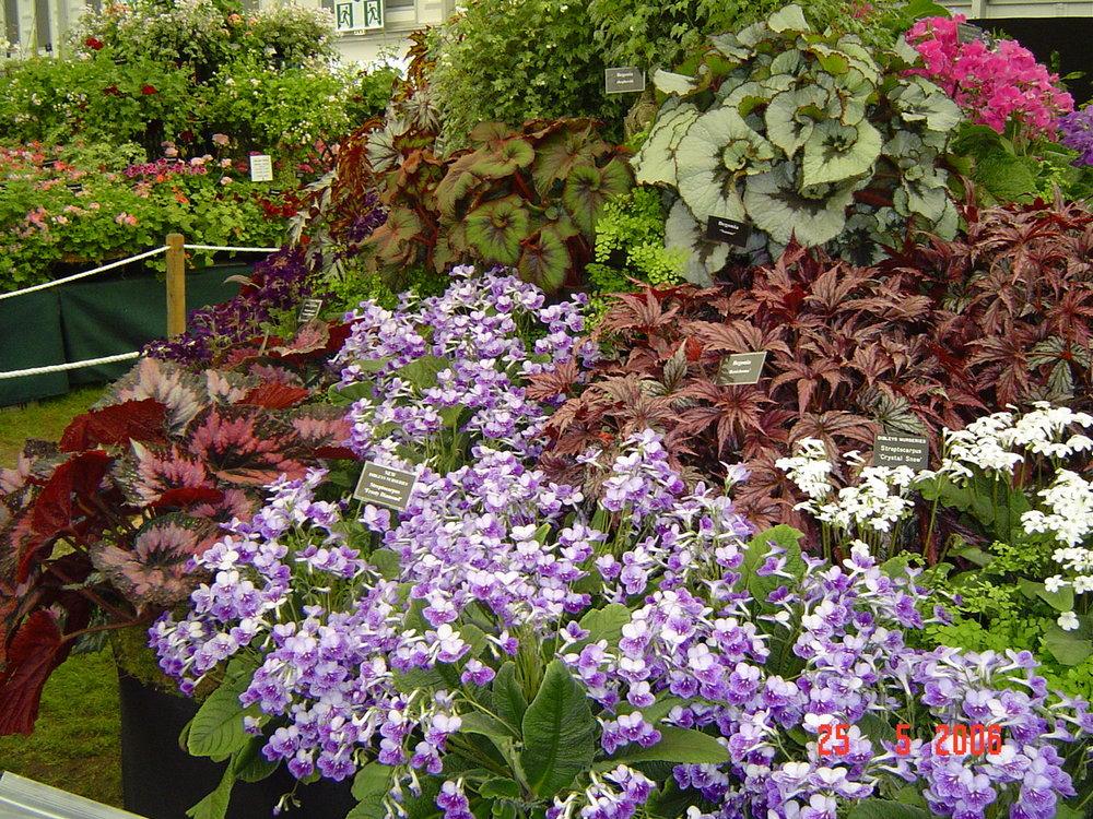 Begonia and Streptocarpus Chelsea Flower Show 2006.JPG