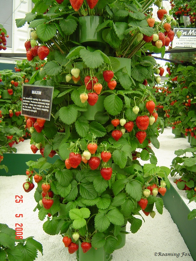 Strawberry display 2 Chelsea Flower Show 2006.JPG