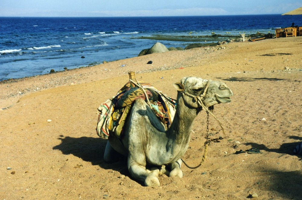Anyone for a ride on a camel?